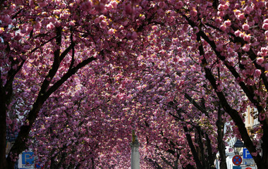 Cherry trees are seen in full pink blossom in Bonn