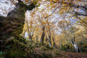 View from the ground of a forest of chestnut trees