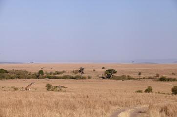 Giraffe in its habitat at Masai Mara, Kenya Wall mural