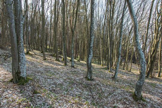 Spring awakening: Forest of hornbeams (Carpinus betulus)