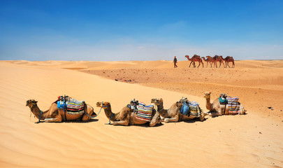 Camels in sand dunes of Sahara desert. Tunisia, North Africa