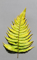 Fern leaf resembling a Christmas tree, on grey paper background