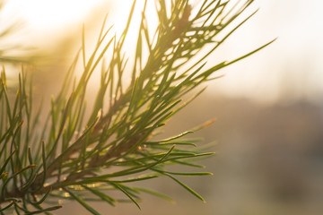 Green spruce branches in defocus on a sunny day in spring. Abstract spruce picture.