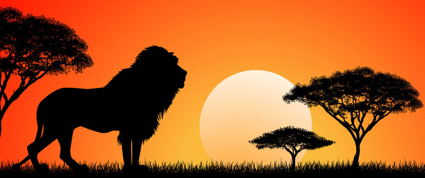 Big african lion. Silhouette of an African lion. Lion on the background of the sun and trees. African wild landscape. Sunset. Wildlife of Africa