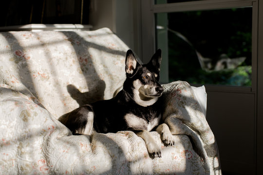 Little dog sits on armchair in harsh sunset light
