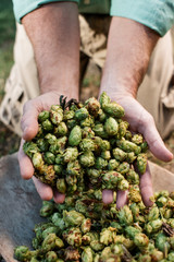 A man picking up a bunch of whole leaf hops