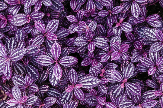 Infrared: Abstract spiderwort plant leaves