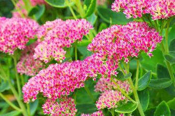 Fetthenne im herbstlichen Garten - Sedum telephium or  harping Johnny