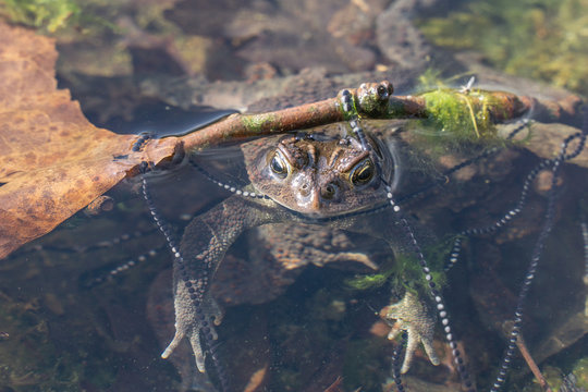 Close-up of American toad in pond wrapped in tadpole eggs