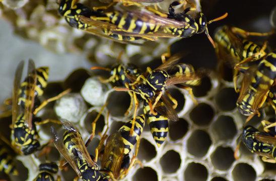 Vespiary. Wasps polist.