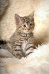 cute striped kitten on a light background