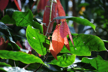 leaves of a cocoa tree in bright sunshine