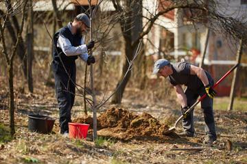 Farmers planting walnut tree