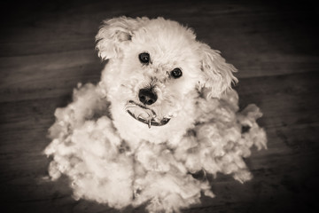 After grooming dog, bichon frise
