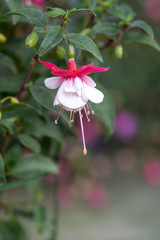 Fuchsia flowers pink and white