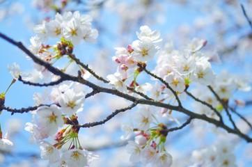 春 満開の桜