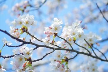 春 桜の花見
