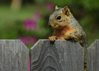 Fototapete - Squirrel looking over the fence