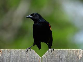 Fototapete - Red-winged Blackbird
