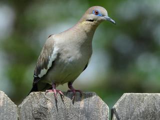 Fototapete - White-winged Dove