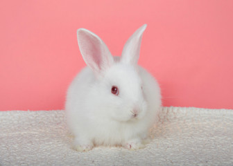 Adorable white albino baby bunny crouched down on sheepskin blanket with pink background looking to viewers right. An albino rabbit has a mutated gene combination that overrides all other combinations