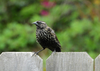 Wall Mural - Female Red-winged Blackbird