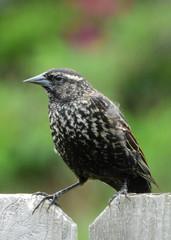 Fototapete - Female Red-winged Blackbird