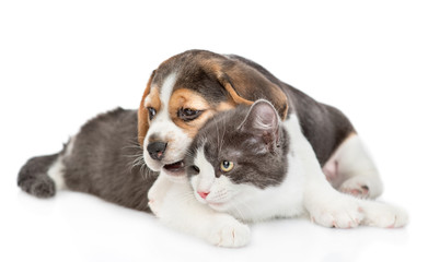 Beagle puppy chews cat's ear and embracing his. isolated on white background