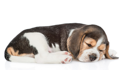 Beagle puppy sleeping in side view.  isolated on white background