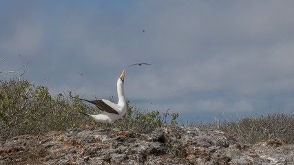 a nazca booby mating display on isla genovesa in the galapagos