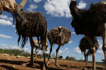 A flock of ostriches is seen at a farm on the outskirts of Havana