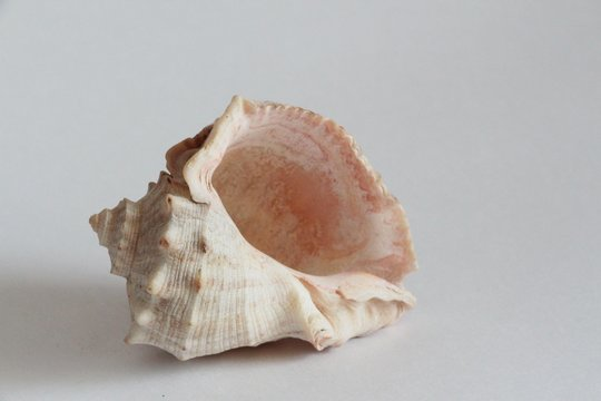 Shell of Rapana venosa, also known as the veined rapa whelk or Asian rapa whelk, on the gray background. Rapana is a species of large predatory sea snail. Sea life, vacation and souvenir concept.