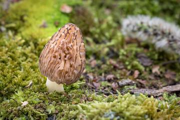 Fototapeta Closeup shot of morel in moss obraz