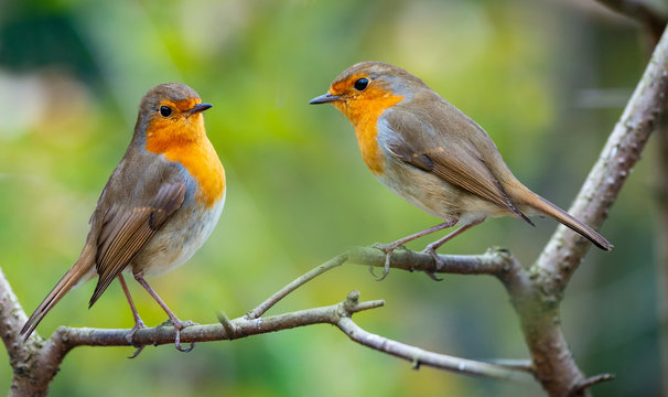 Red Robin (Erithacus rubecula) birds close up in a forest