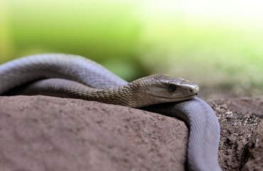 Black Mamba (Dendroaspis polylepis) is extremely venomous snake native to parts of Sub-Saharan Africa.