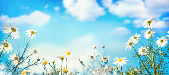 Wall Mural - Beautiful spring summer natural floral background with daisy flowers in front of bright blue sky with white clouds on nature, copy space, wide format.