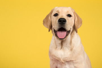 Portrait of a blond labrador retriever puppy  on a yellow background Wall mural