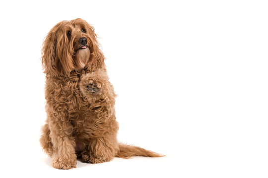 Sitting labradoodle looking up and begging on a white background