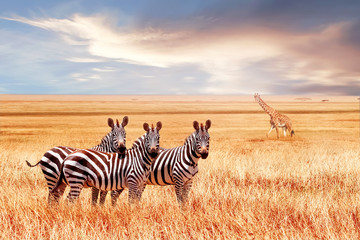 Group of wild zebras and jiraffe in the African savanna against the beautiful sunset. Wildlife of Africa. Tanzania. Serengeti national park. African landscape. Wall mural