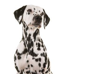 Portrait of a dalmatian dog looking up isolated on a white background