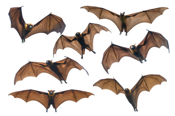 Bat flying isolated on white  background (Lyle's flying fox)