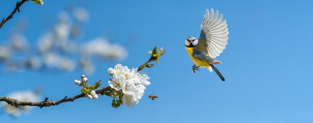Der Singvogel Blaumeise und eine Biene an einem blühenden Kirschbaum zeigt, dass endlich Frühling ist Wall mural