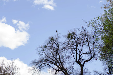 Crow sits high on a tree. Bare tree branches against the background of a deep blue sky with clouds.