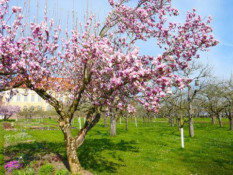 Dachau - Magnolienbaum im Schlosspark