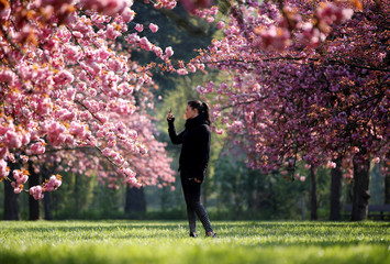 A woman takes a picture of pink cherry tree blossoms during a sunny spring morning at the Parc de Sceaux gardens near Paris