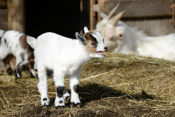 white goat kid standing on straw in front of shed and bleats