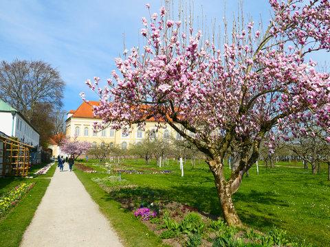 Magnolienbaum im Dachauer Schlossgarten