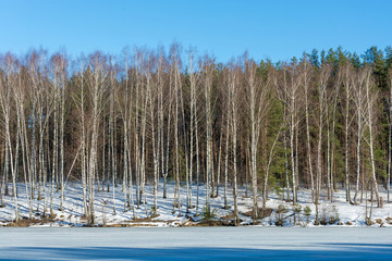 High slender birches on the bank of a river covered with ice.