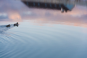 Two swimming ducks on the blue-pink mirror smooth surface of the river.