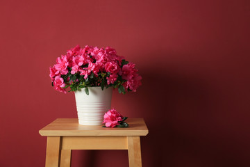Keuken foto achterwand Azalea Pot with beautiful blooming azalea on table against color background